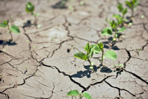Crops trying to grow in drought