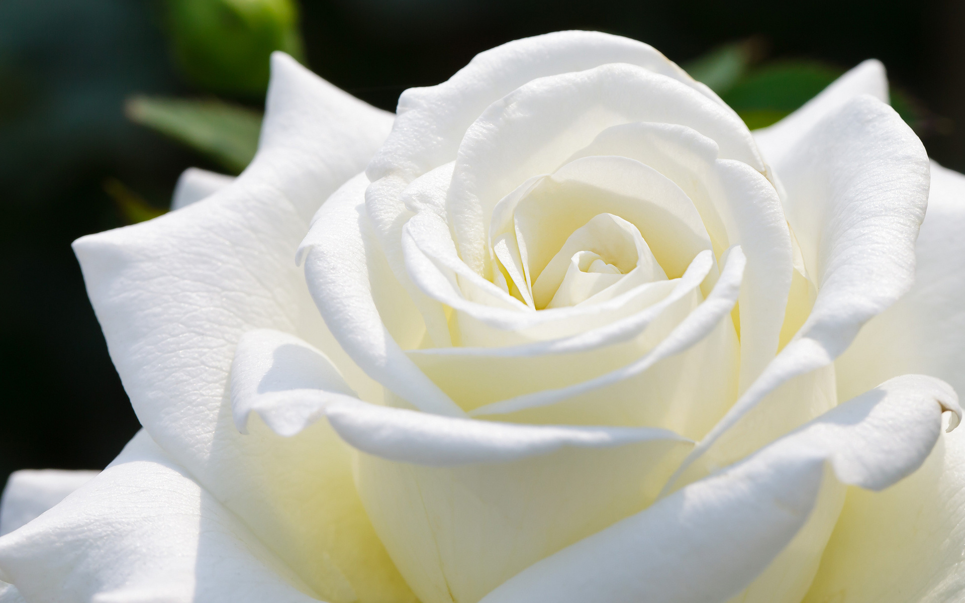 White Rose - the Symbol of the Theotokos