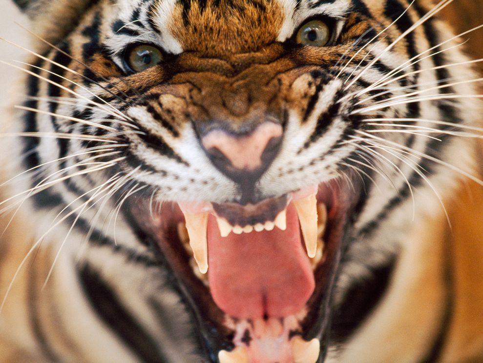Tiger snarls at camera