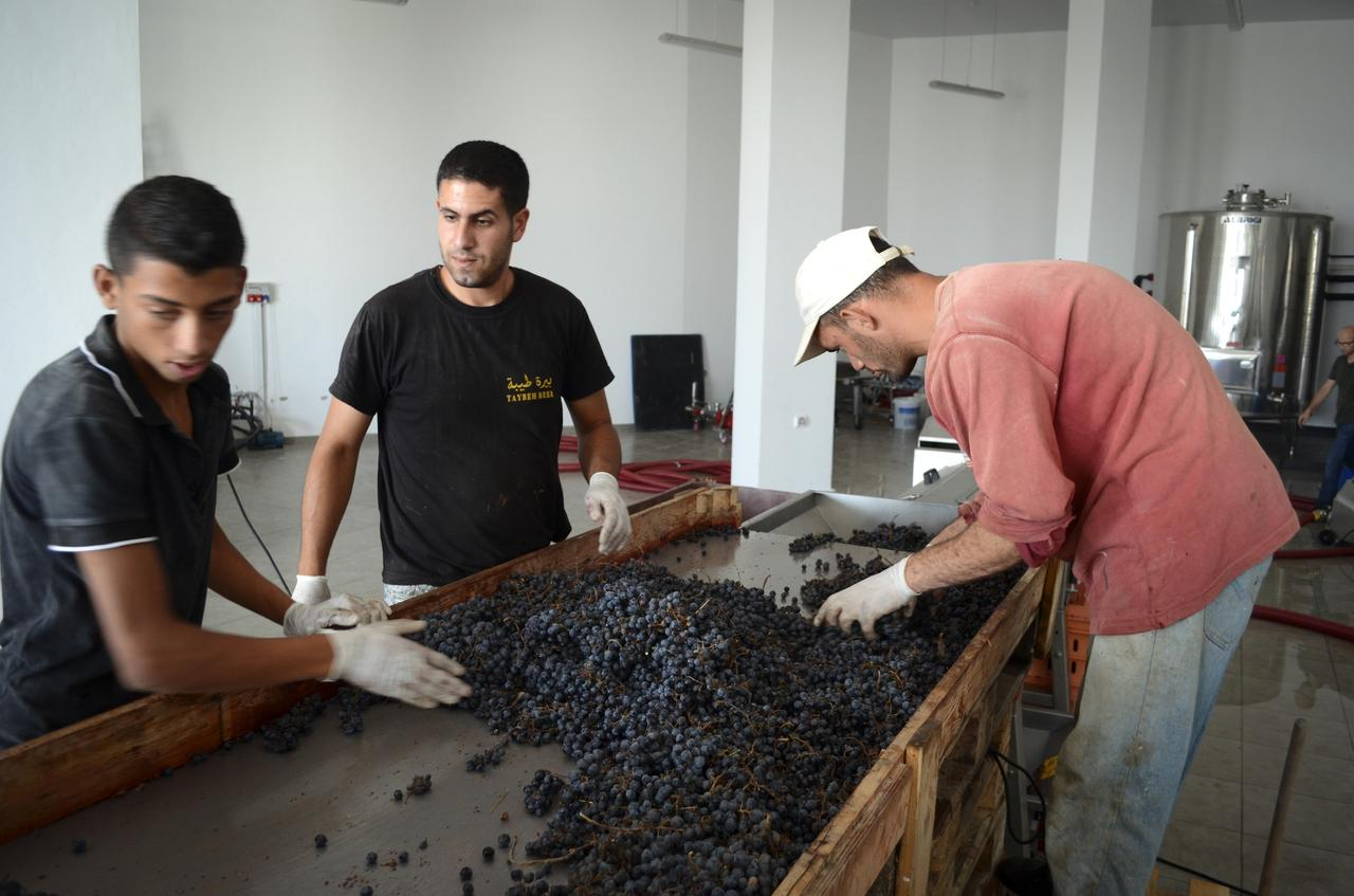 Workers at Taybeh brewery and winery processing grapes